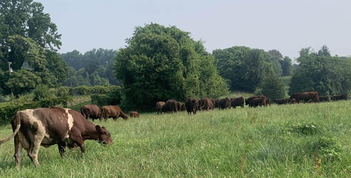 Clagett-Farm-Cows_Sudan-Smith_1171x593.jpg
