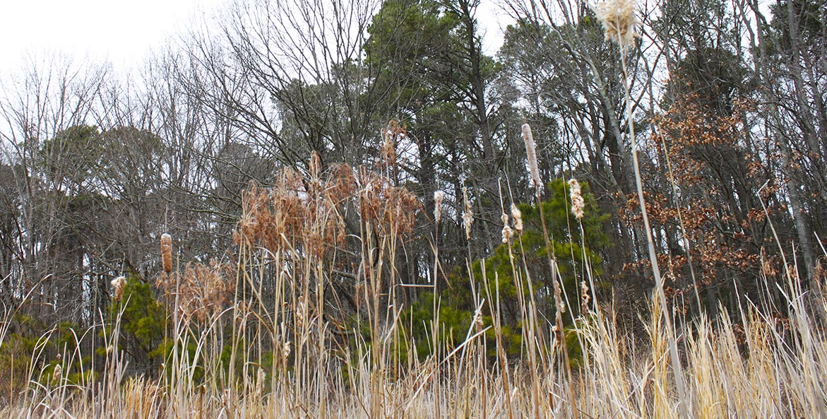 Marsh grasses in front of trees in winter.