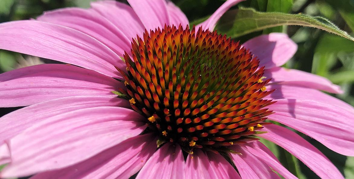 Purple-Coneflower_Codi-Yeager_1171x593.jpg