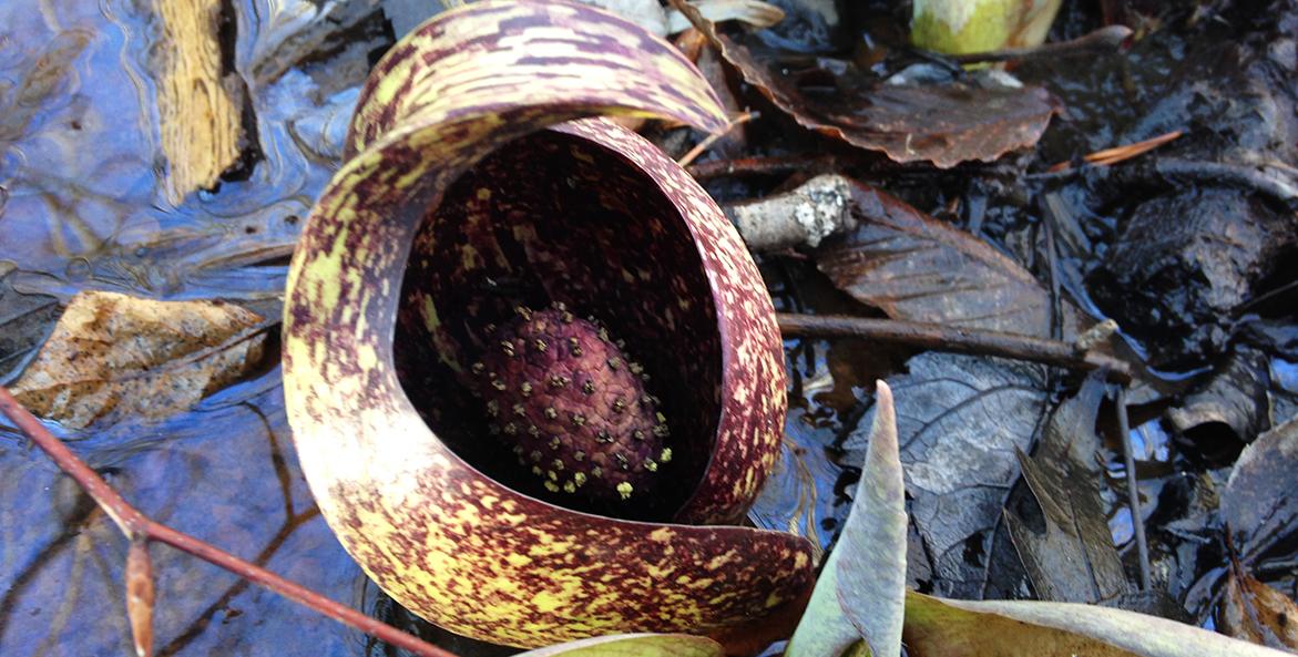 Skunk cabbage flower inside leaf.