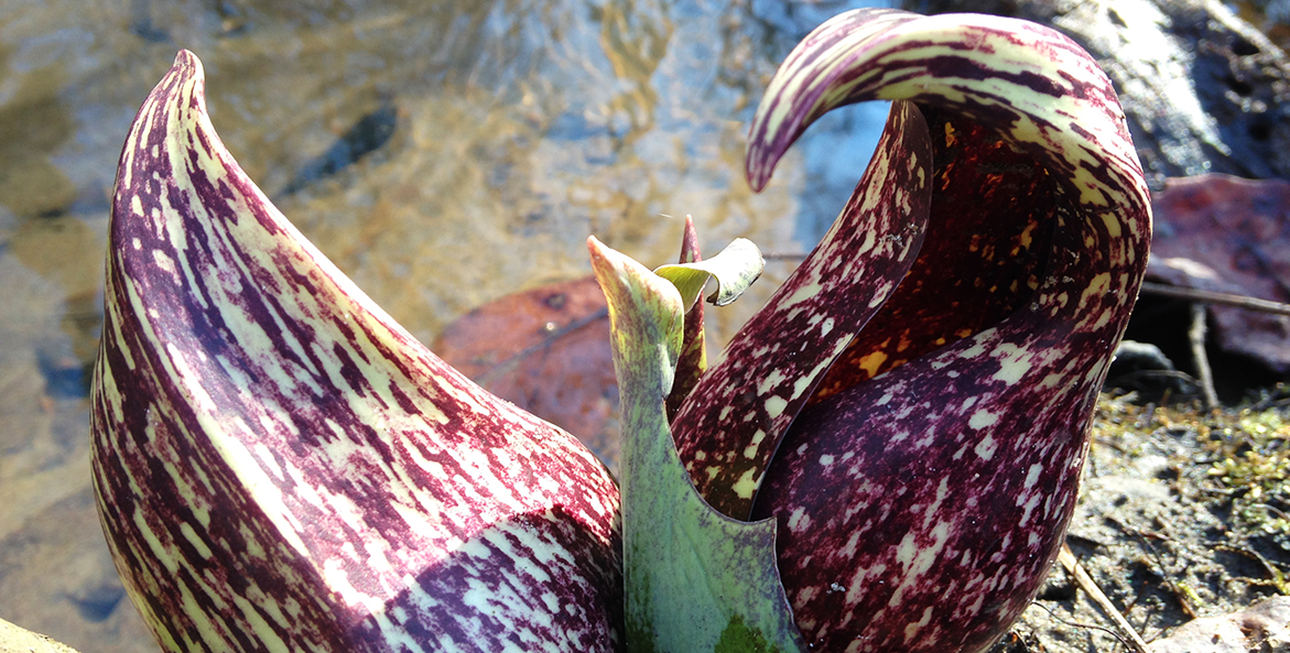 SkunkCabbage02_CYeager_1171x593