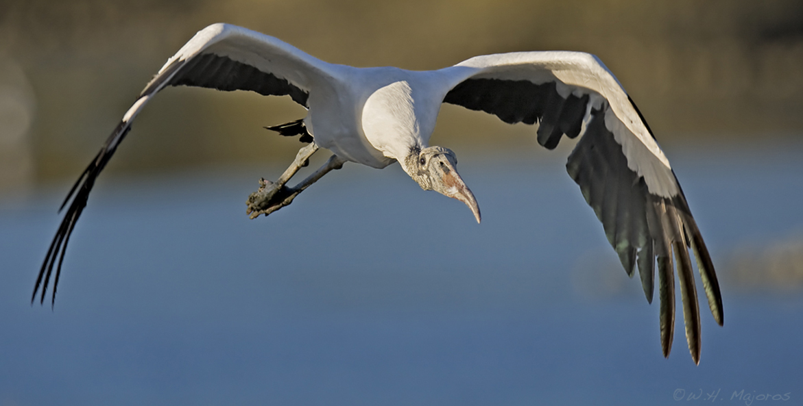 Wood-Stork_Huntington-Beach-SP-SC_Bill-Majoros_Wikimedia-Commons_5114800170