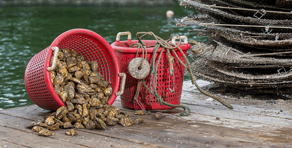 Aquaculture oysters-Tal Petty-1171x593
