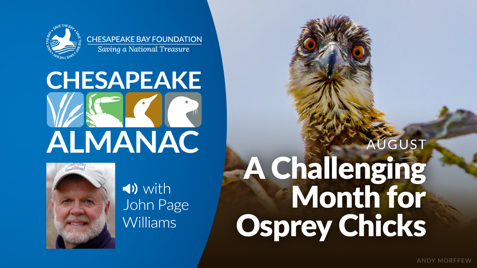 Close-up of an osprey chick, with inlay of episode title and narrarator John Page Williams.