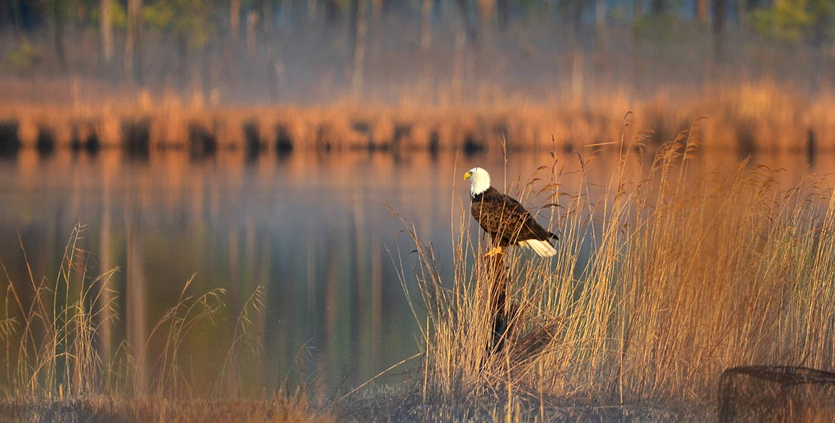 Bald eagle Debra Brown 1171x593