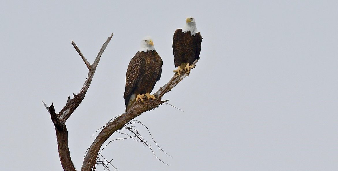 Two bald eagles perched on dead tree.