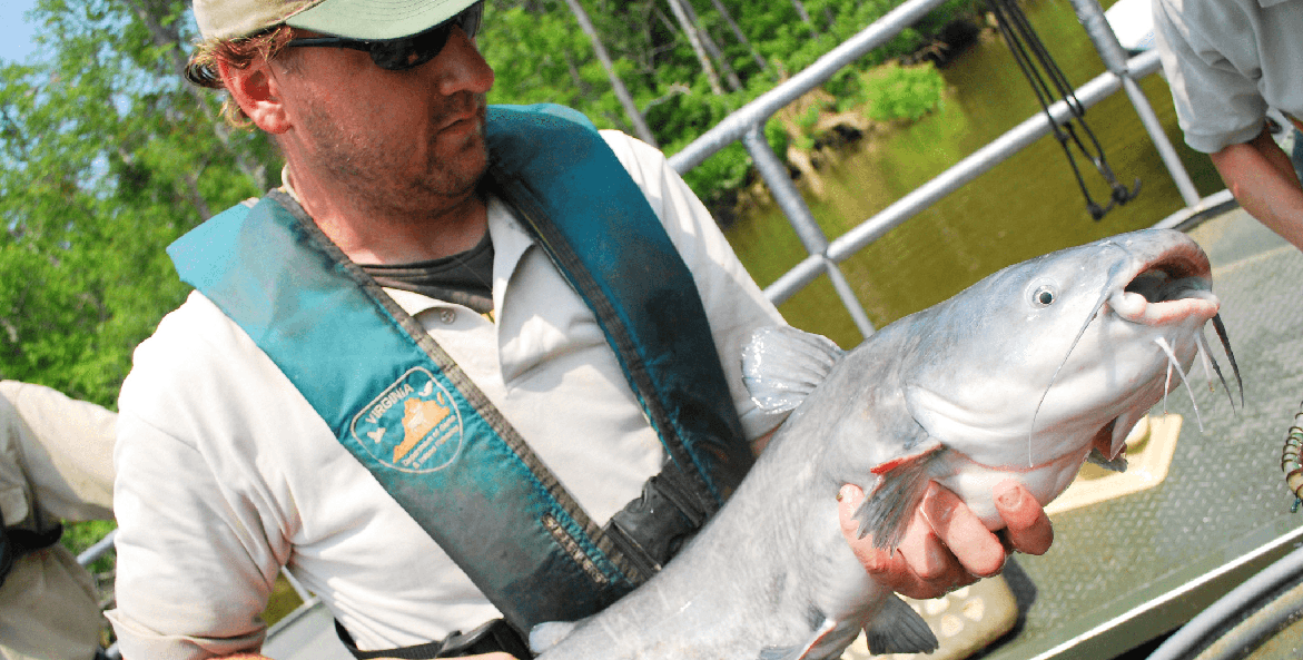 Man in a Virginia Department of Game and Inland Fisheries uniform holding a blue catfish.