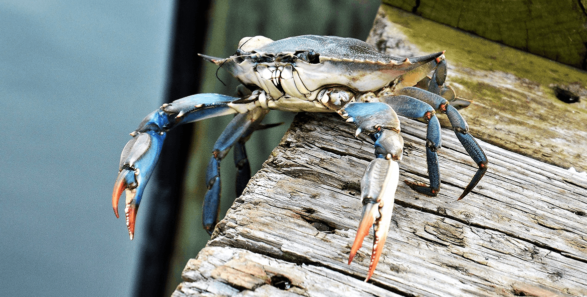 A blue crab perches on the edge of a dock, ready to jump back into the water below.