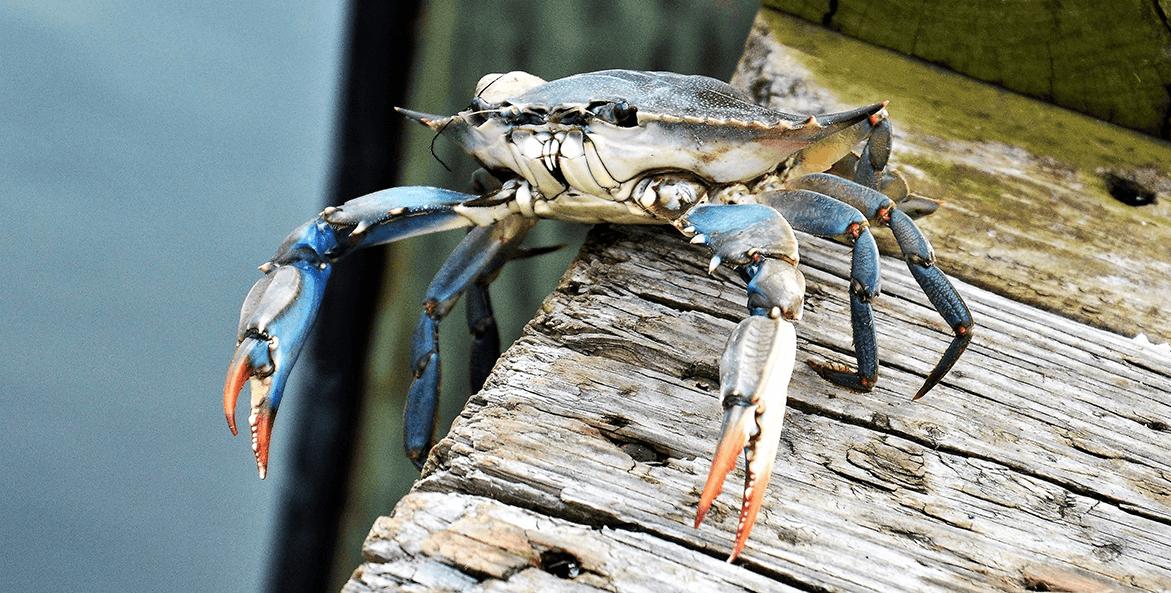 Blue crab-Kim Cover-1171x593