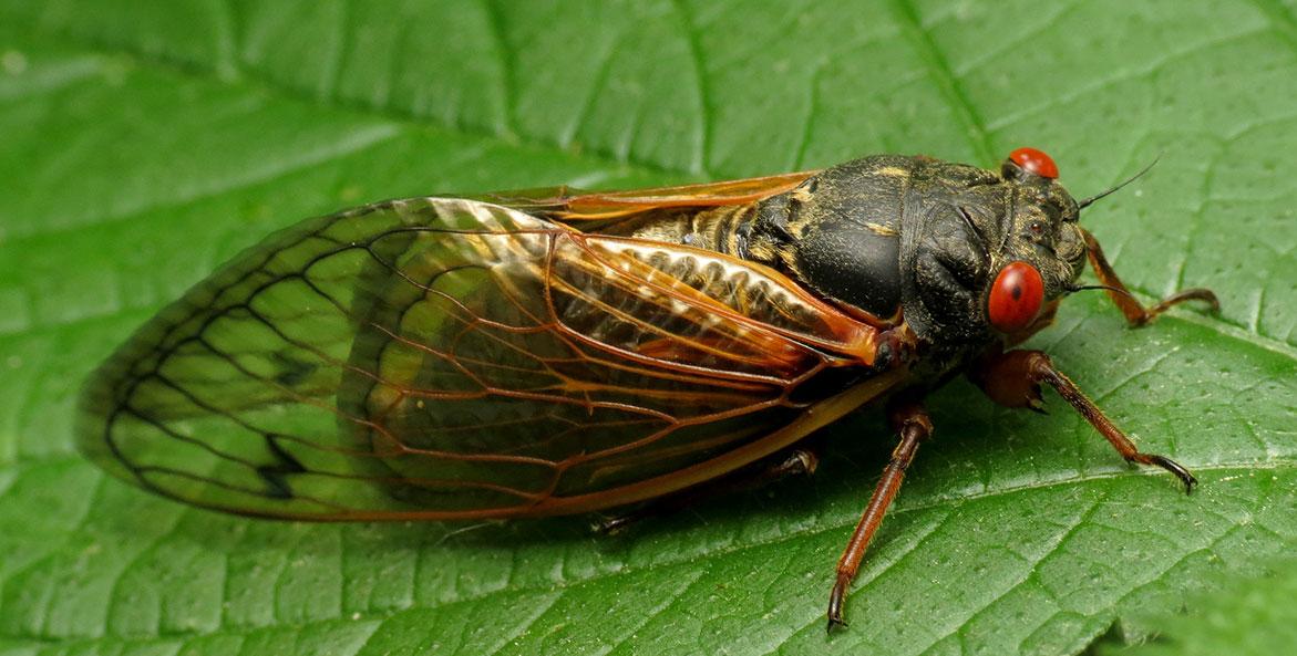 Brood X Cicada - Katja Schultz-Flickr CC - 1171x593