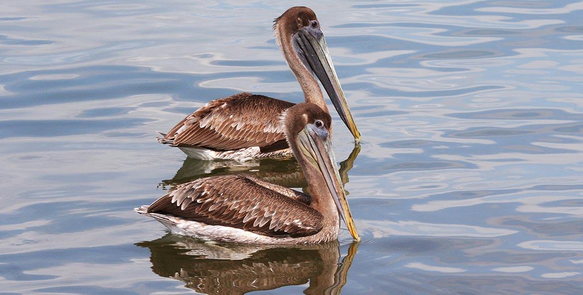 brown pelican iStock 1171x593