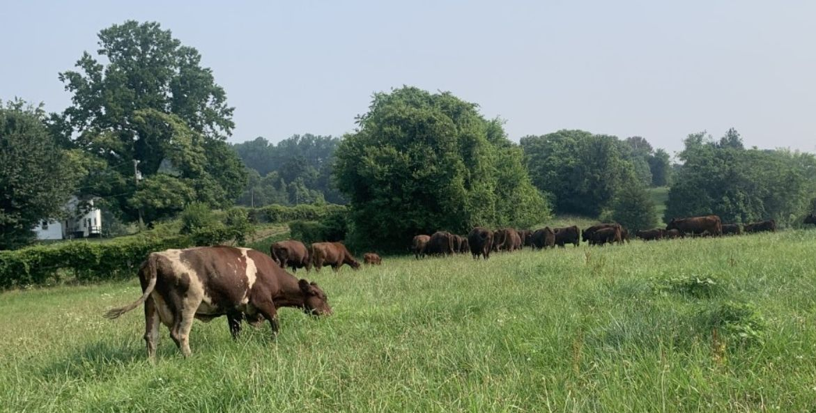 Brown cattle grazing in a field with green grass and trees.