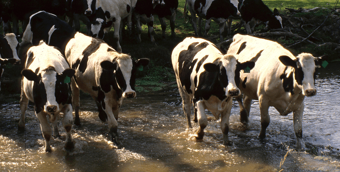 Cattle cross a stream that does not have protective fencing.