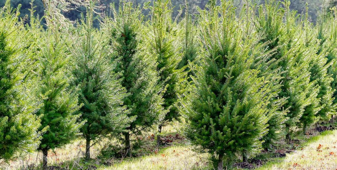 christmas tree farm-WA Dept of Ag-1171x593