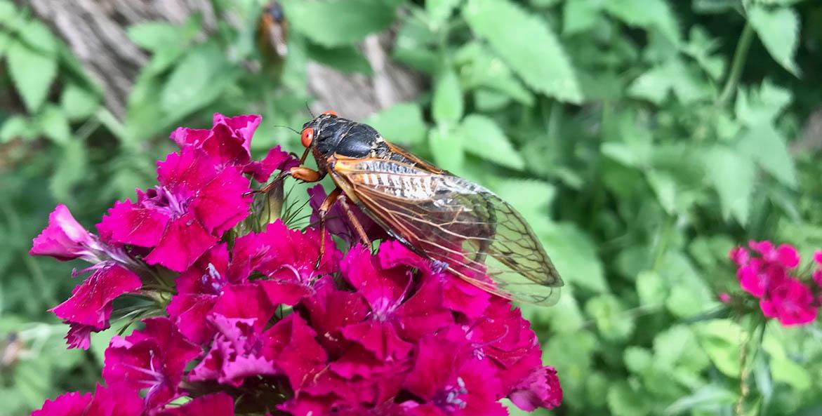cicada_on-flower_kris-belessis-cbf-staff_1171x593