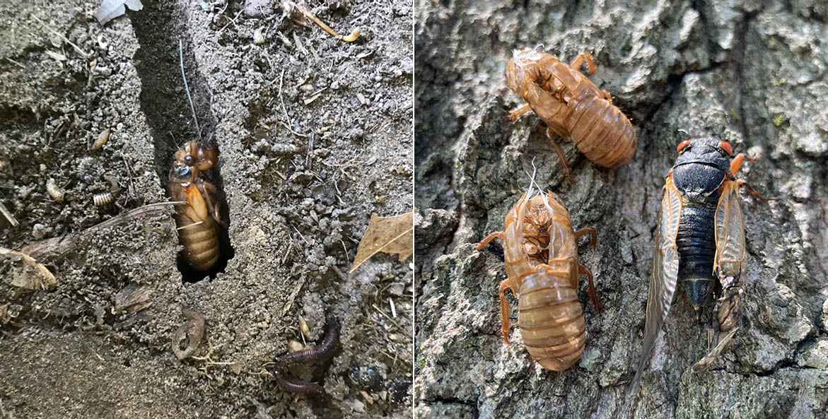A cicada digging a tunnel (left). Cicada husks and an adult on a tree tree (right)