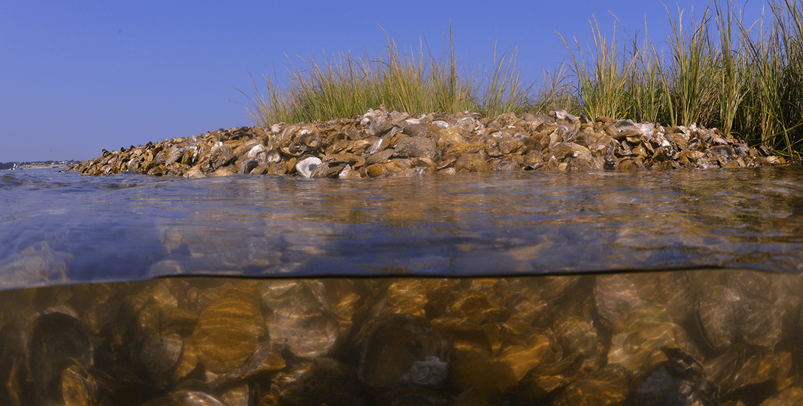 View of an oyster reef showing the reef both below and above the surface.