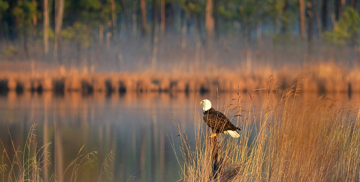 Eagle at sunrise-Debra Brown-1171x593