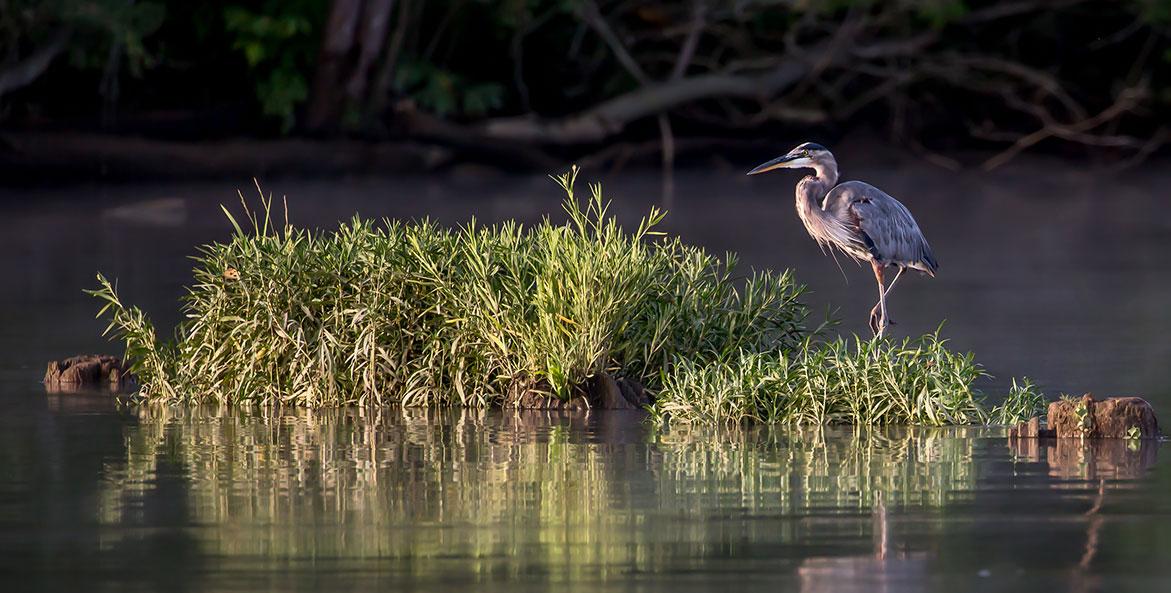 Early Morning Heron-Lynn Gaffey-1171x593