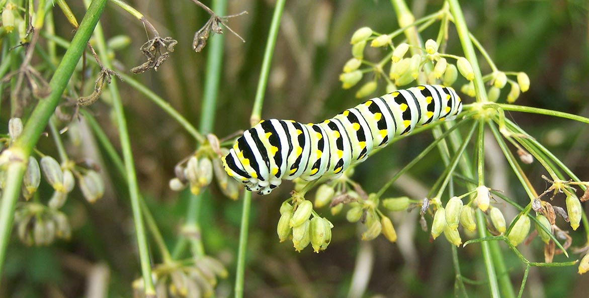 Eastern Swallowtail caterpillar Rachel A. Freedman 1171x593