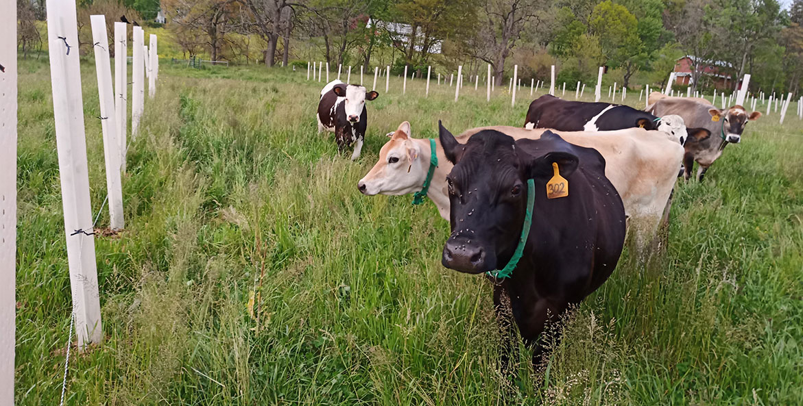Cows graze among trees in a pasture on a Pennyslvania farm.