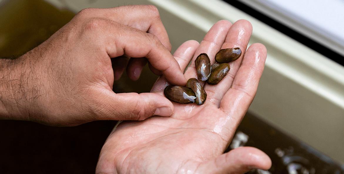 freshwater mussles-Chesapeake Bay Program-1171x593