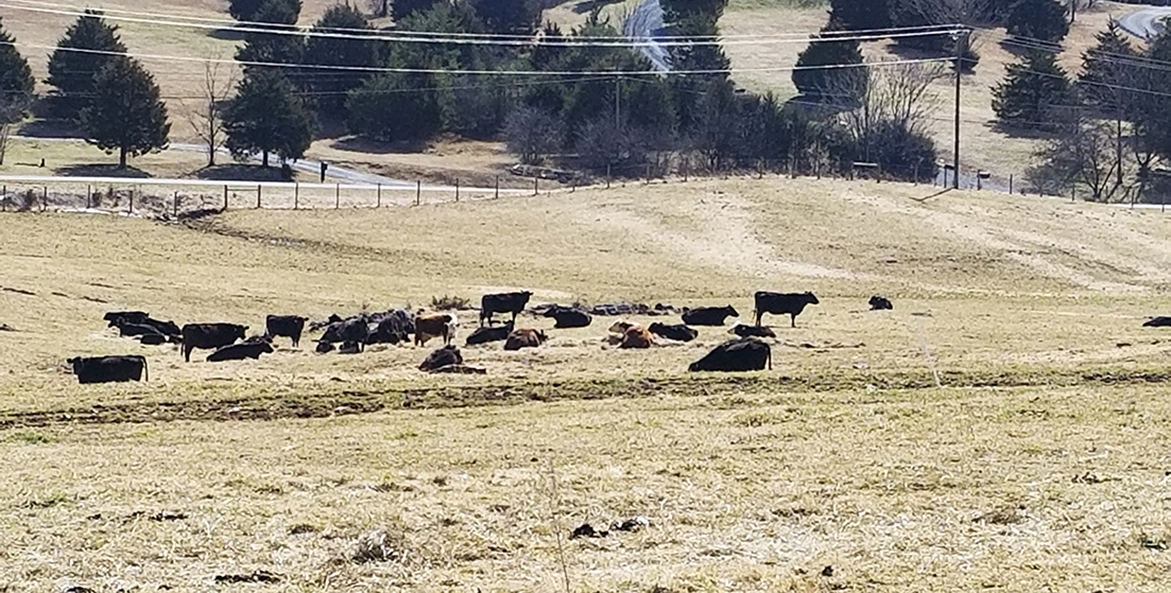 Black and brown cows grazing in a winter pasture.