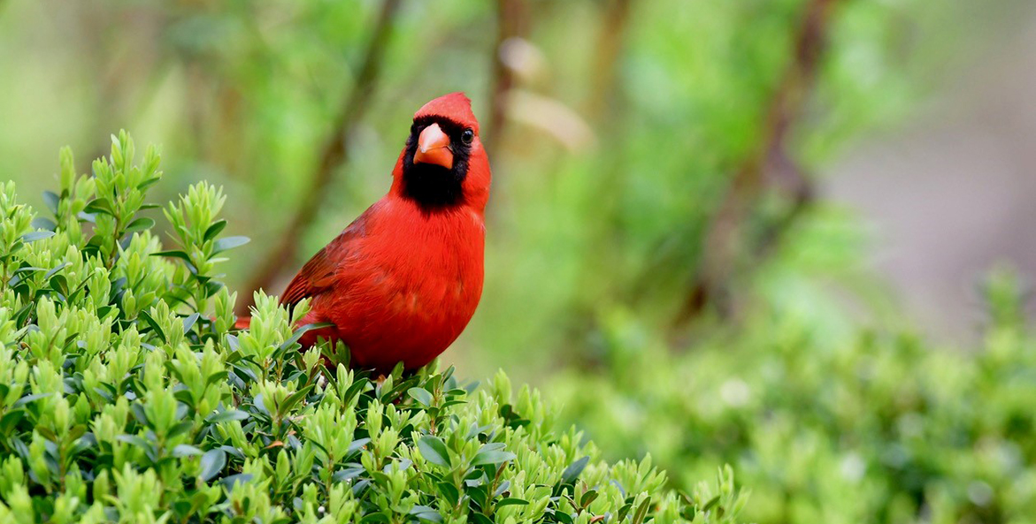 Male cardinal perched on a shrub.