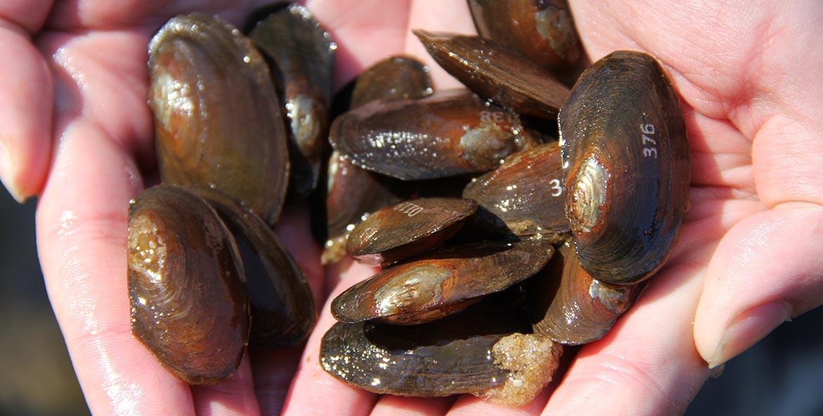 Hands cup a dozen freshwater mussels.