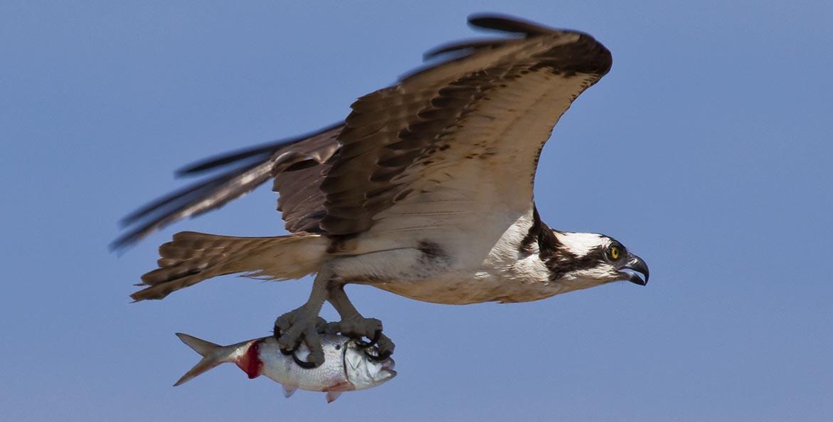 Osprey carrying menhaden iStock 1171x593