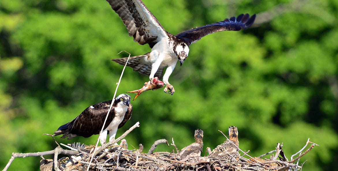 Osprey feeding chicks on Choptank - Dave Gelenter