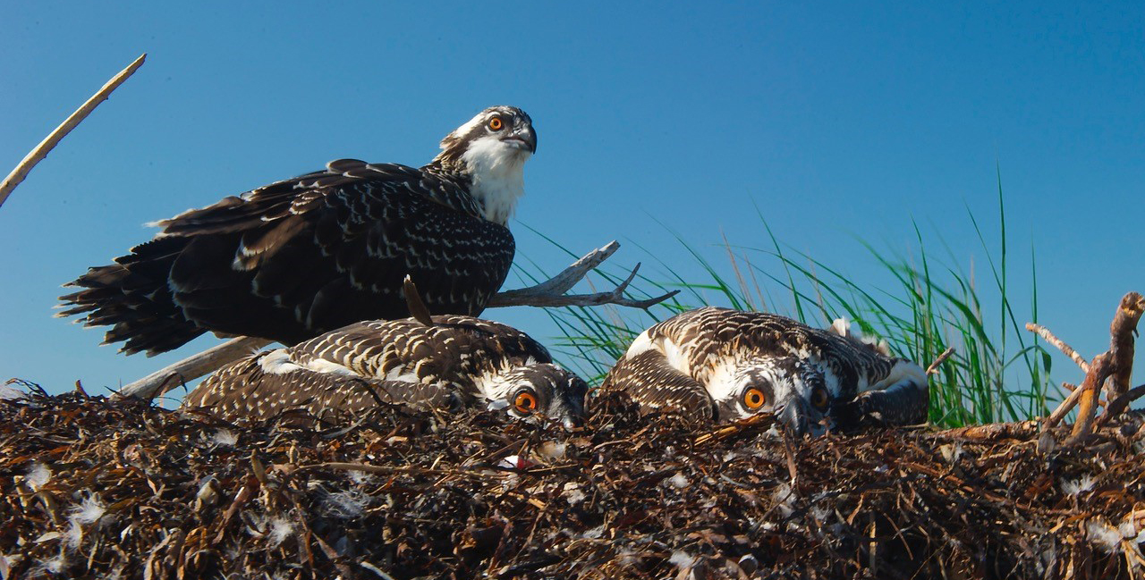 Osprey Nest_Bill Portlock_1171x593