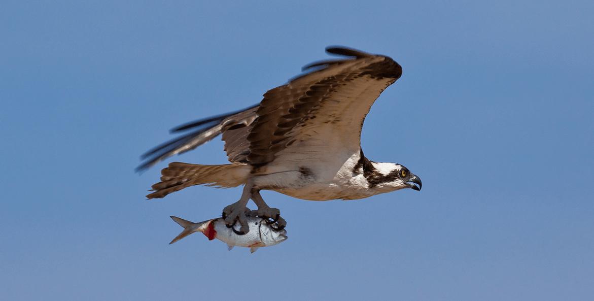 Osprey flying after catching an Atlantic menhaden
