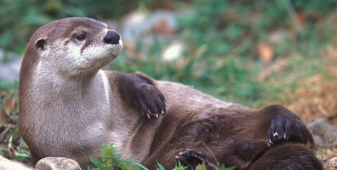 A North American river otter sunbathes on its side with its head lifting and looking off to the side.