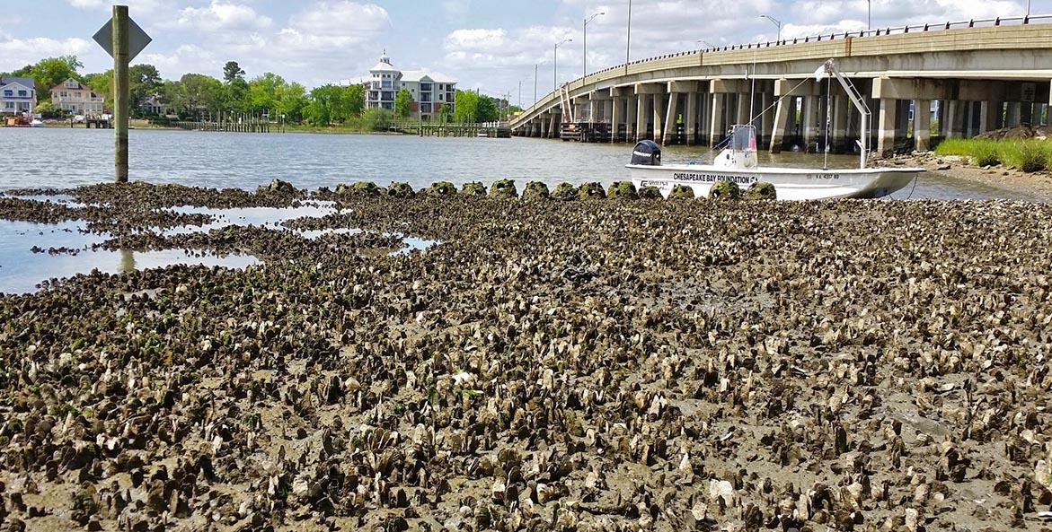 oyster-reef-lafayette-river-granby-street-reef_JackieShannonCBFStaff_1171x593