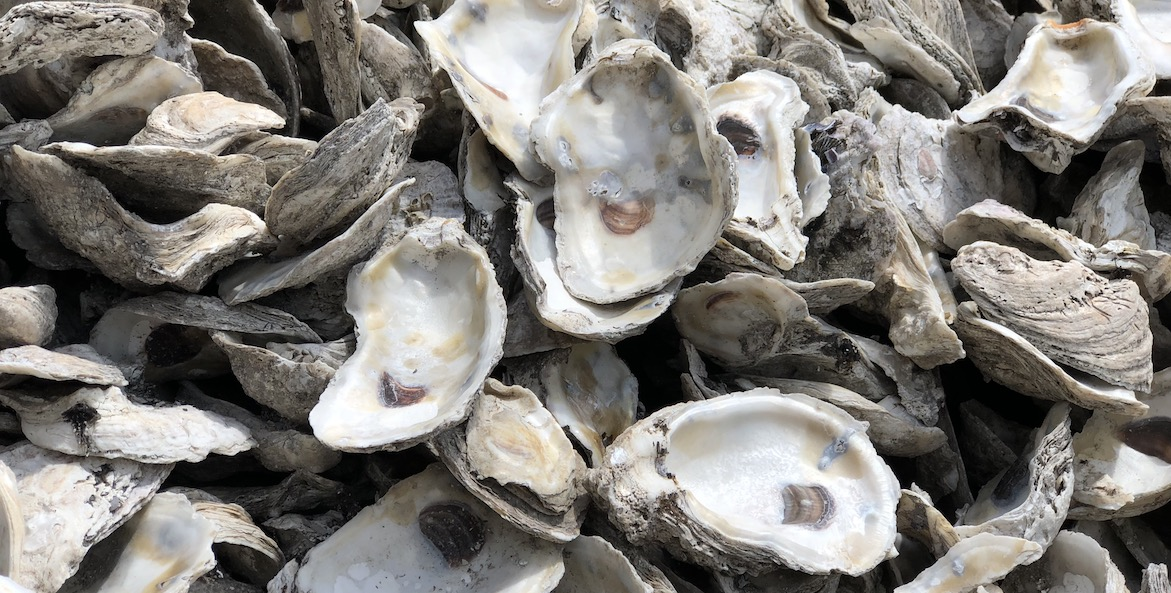 Oyster shells in a pile.