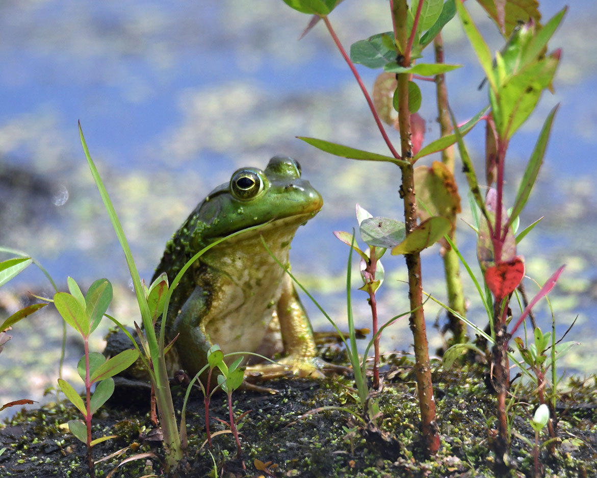 A green frog sits on a bit of land with water twinkling in the sun behind it.