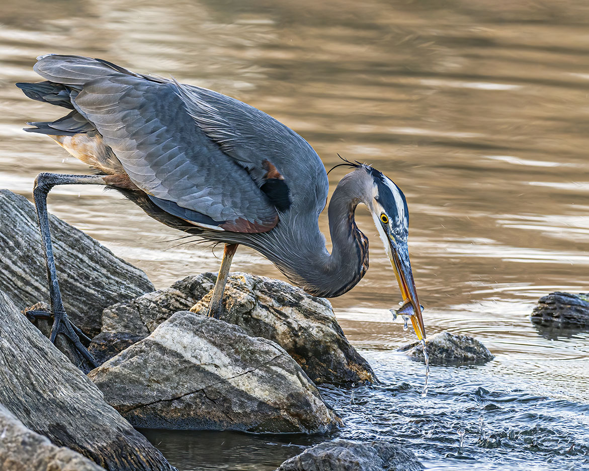 A great blue heron stands amid rocks, water dripping from its bill after catching a small fish.