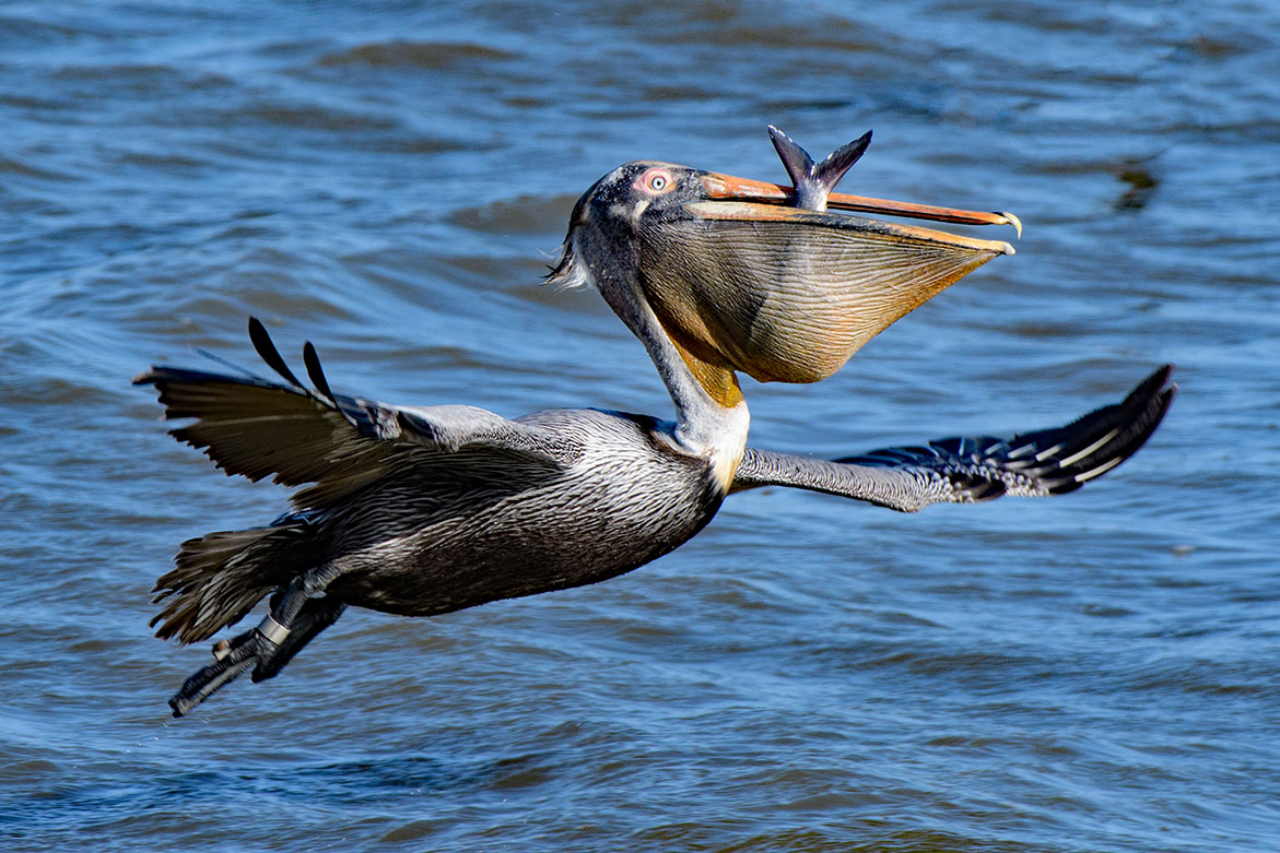 A pelican flies across the water, the tail of a fish protruding from its deep bill.