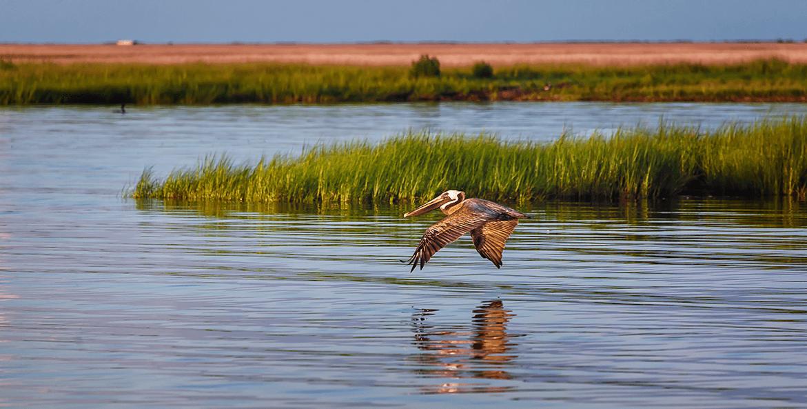 Smith Island Pelican-Bob Miller1171x593