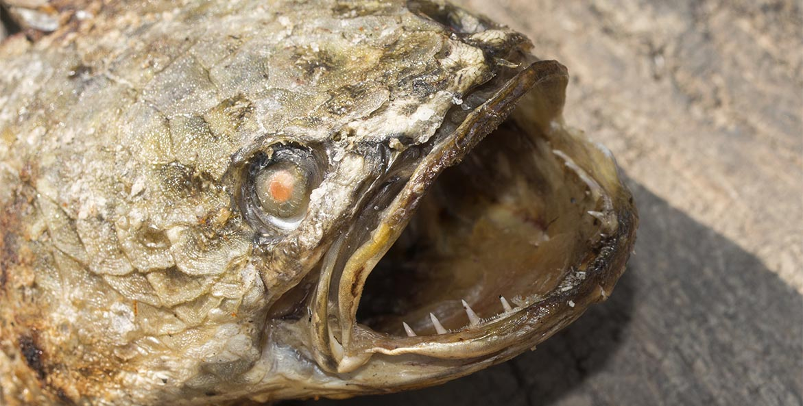Close-up of a snakehead.