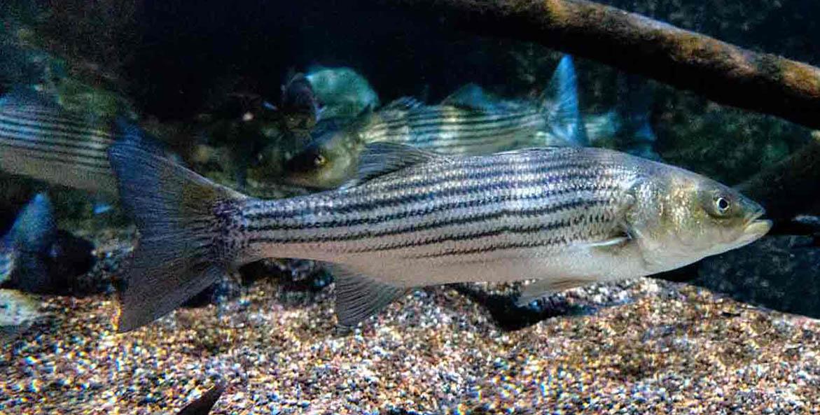 striped-bass_Will-Parsons-CBP_1171x593