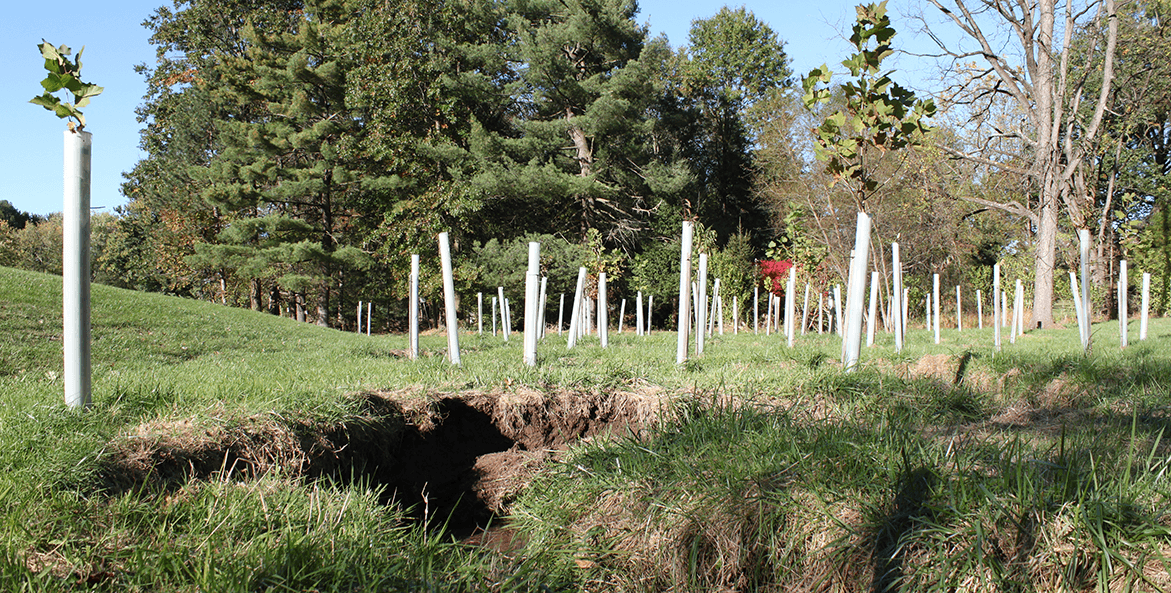 Tree saplings in plastic sleeves planted along an eroded stream.