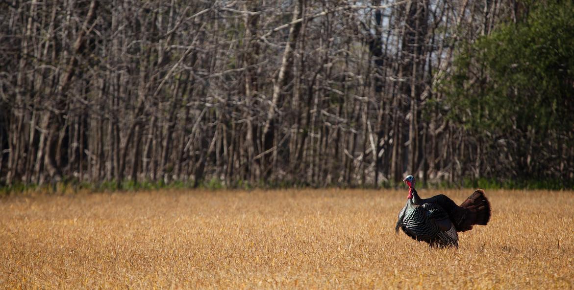 wild turkey-chesapeake bay program-1171x593