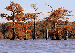 Cypress trees with bright orange leaves stand tall in the middle of a lake.