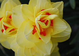 A yellow daffodil with orange spots.