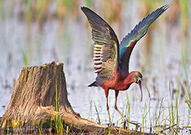 A brightly colored glossy ibis at Blackwater wildlife refuge streatches its wings.