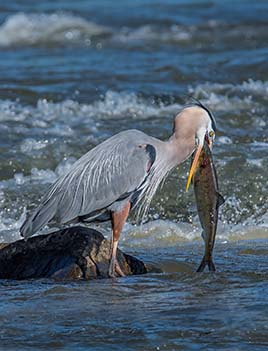 A photo of a heron eating a shad.