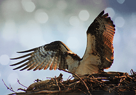 An osprey spreads its wings preparing for take off on a nest.