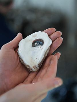 Two hands hold an oyster shell up for display.